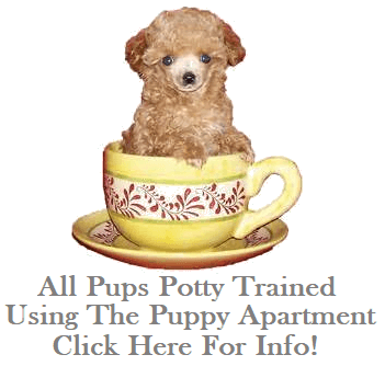 Home - Teddy Bear Poodles & PooMixes