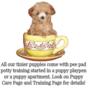 Home Teddy Bear Poodles Poomixes